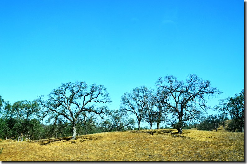 Black Oak Tree along the Highway 1