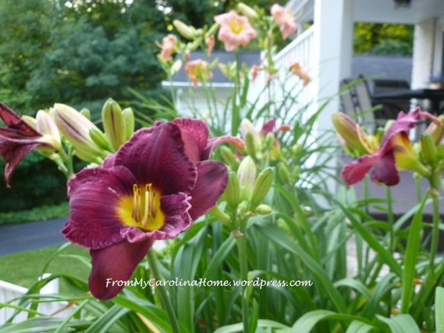 PurpleDayLillies