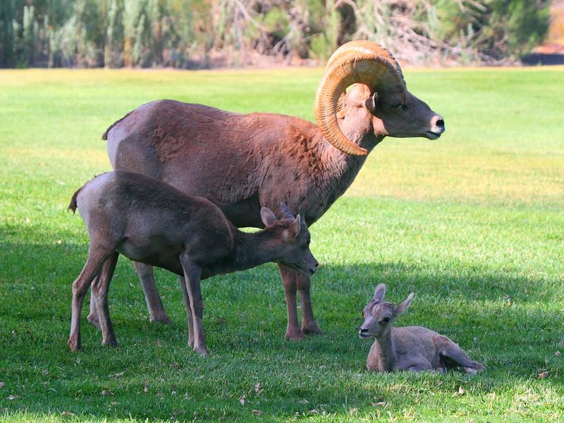 IMG_3737 Bighorn Sheep Ram and Lambs