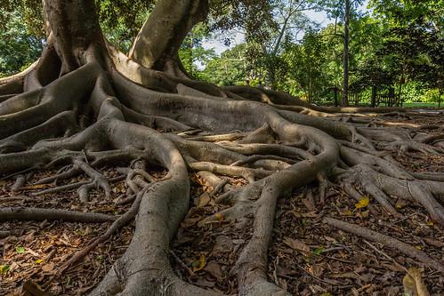tree garden unitedstates florida roots sarasota marieselbybotanicalgardens canoneos60d 1635mmf28llens