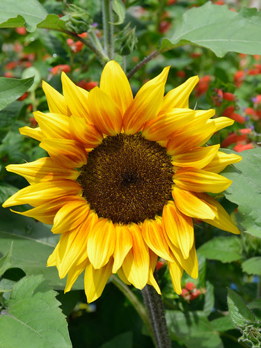 Sunshine Sunflower