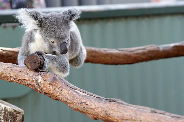 KoalaSanctuary5