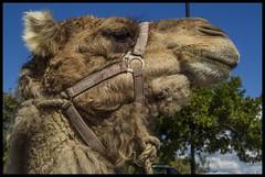 Camel at Jamieson Park Scarborough-3=