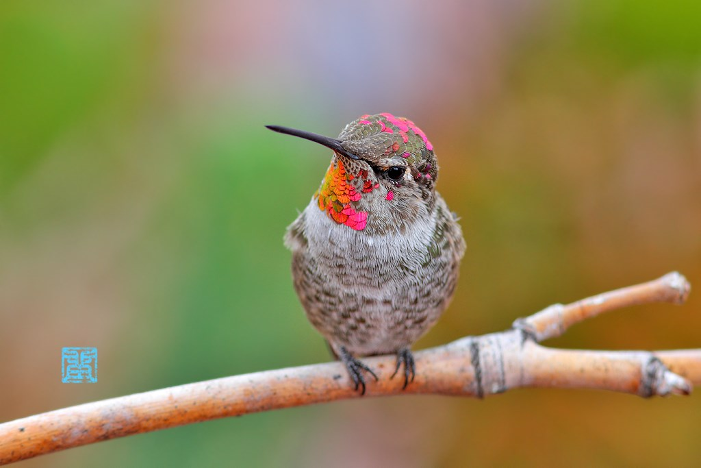immature male Anna's Hummingbird 130814