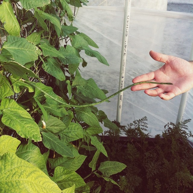 Giant green beans starting to grow!  #beans #greenbeans #green  #vegetablegarden #rooftop #NYC #Brooklyn #vegetables #healthyeating #garden #gardening #urbanfarming #urbangarden #containergarden #harvest #gardenchat #farmgirl #getgrowing #greenthumb #home