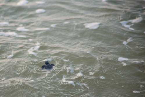 Sea Turtle Hatchling Swimming in Ocean