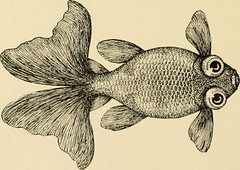 """Image from page 65 of """"Goldfish breeds and other aquarium fishes, their care and propagation : a guide to freshwater and marine aquaria, their fauna, flora and management. With 280 explanatory illustrations, printed with the text"""" (1908)"""