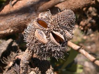 Banksia ornata, Kangaroo Island, South Australia