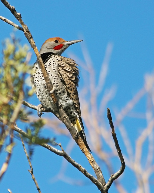 Woodpecker Gided Flicker_9416