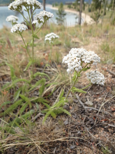 Yarrow hillside
