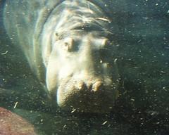 hippo in hippoquarium