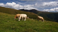 WeatherMaker posted a photo:	Yes, of course you find them almost everywhere on the nice meadows in the Alps.(with the Falkert in the background)