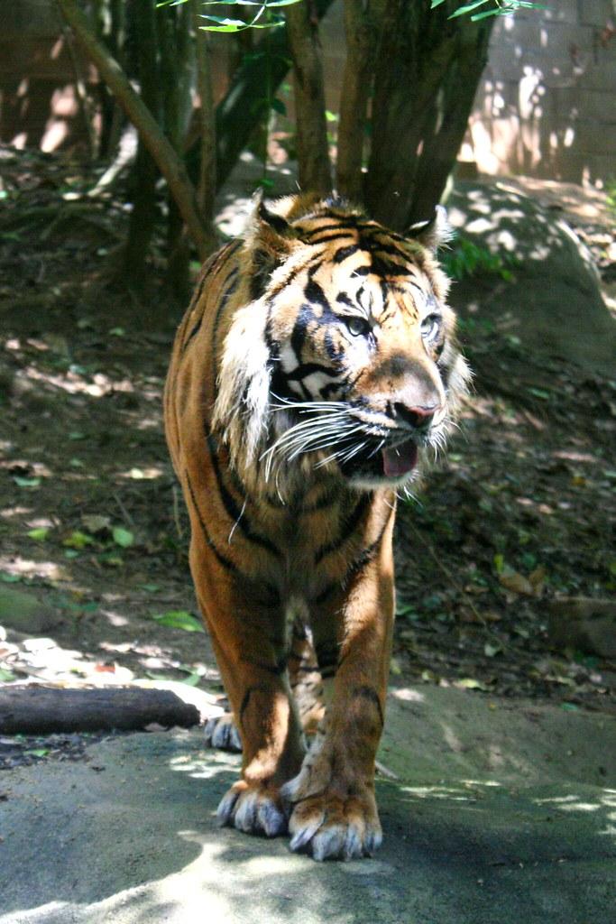 Tiger in Zoo Atlanta