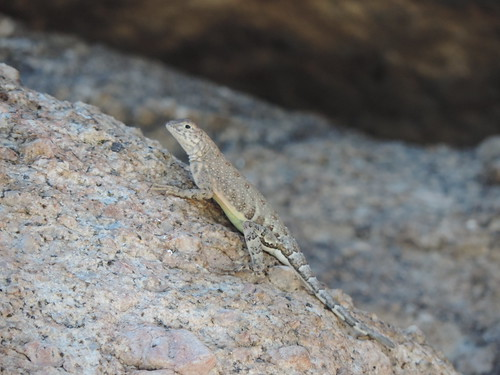 Greater Earless Lizard (Cophosaurus texanus)
