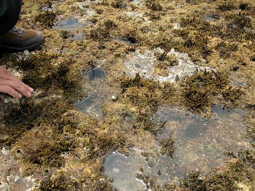 退潮時礁岩地區內可以近距離觀察生物(溫于璇攝)