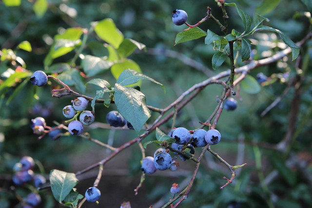 blueberries this year.......