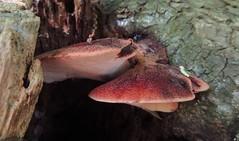 medicinal mushroom, nature, mushroom, marine biology, auriculariales, macro photography, fungus, close-up,