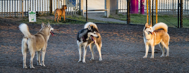 Dog park huskies
