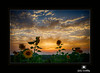 Sunflowers at Sunset in August by Jim Crotty