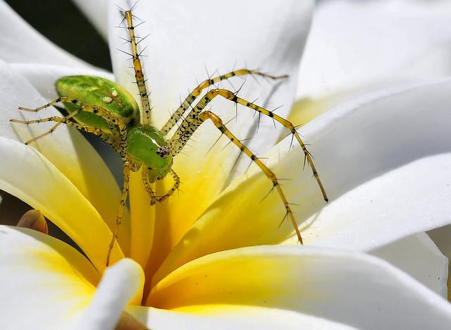 Green Lynx Spider.
