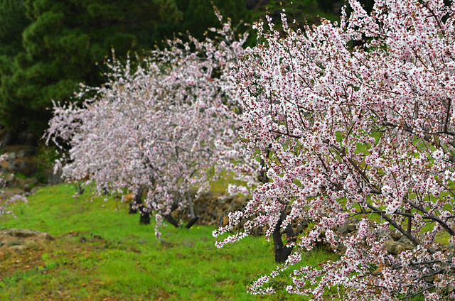 Almond trees in blossom, El Hierro