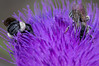 Bees on thistle 4