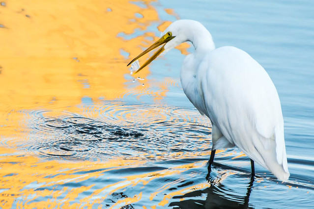 Great Egret Reflections