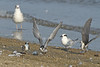 Black Terns and Forster's Tern