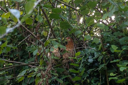 Chicken hiding in tree.