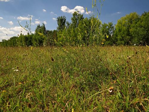 diversity fabaceae melilotus yellowsweetclover melilotusofficinalis steinklee gewöhnlichersteinklee gelbersteinklee orvosisomkóró somkóró