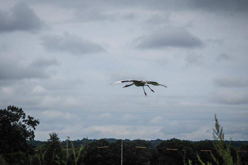 Red crested Japanese crane in flight near Tsurui, Hokkaido, Japan
