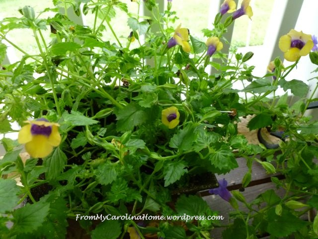 Garden September 9 -yellow torenia