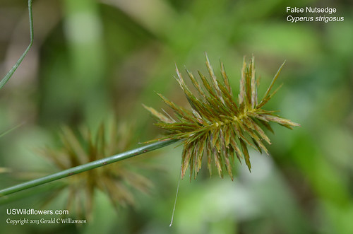 False Nutsedge - Cyperus strigosus