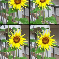 asterales, annual plant, sunflower, flower, yellow, floral design, flora,