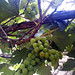 Grapes of Vallejo Home