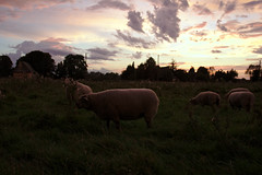 Sunset with sheep