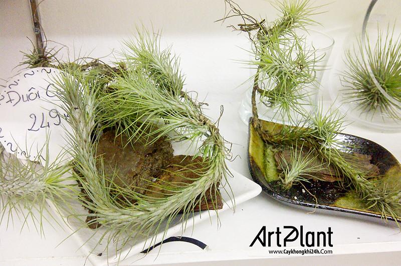 art plant | cay khong khi | tieu canh khong khi | terrarium | khong khi ho ly