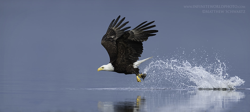 Bald Eagle Catching Fish Bald Eagle Trip Report Video Flickr