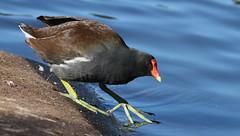 Common Gallinule- Orange Lake