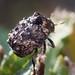 warty leaf beetle by myriorama