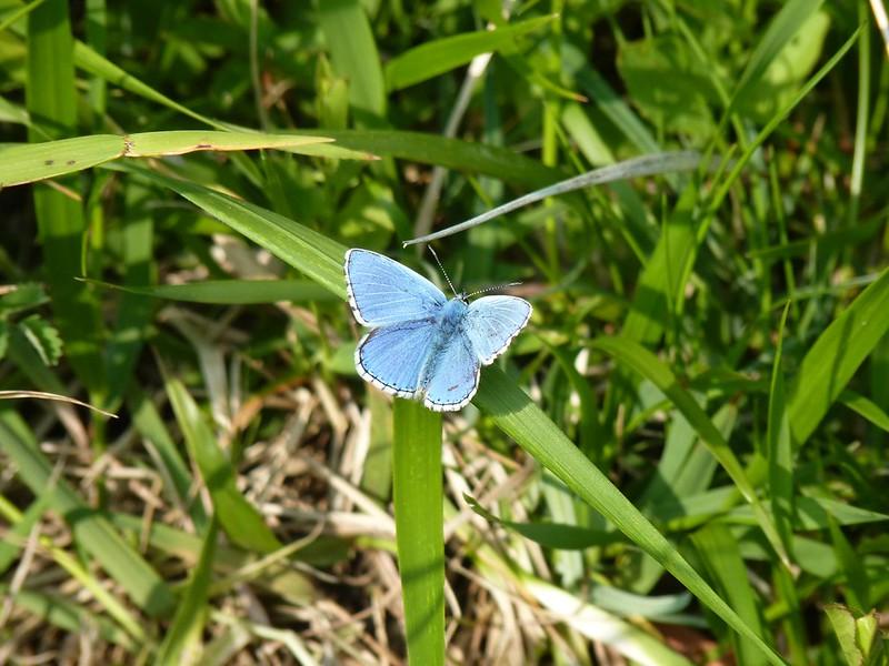 Adonis Blue - Dorset