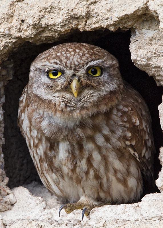 Little Owl 2014-05-06