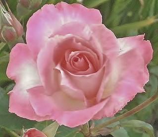 Rose  de satin pour mon amie Martine