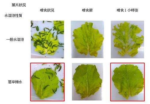 和蔥水相比,吸收一般水的菜葉,較獲菜蟲喜愛。臺東中小學科學展覽作品:厭辣來絕蟲-辛辣水防治小菜蛾幼蟲之研究 資料提供:張順龍老師
