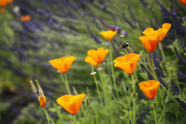 Poppies with Blurry Bee