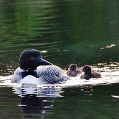 Early #morning #paddle found this #family of #feathers! #algonquin #park #lake #loons #birds #nature #baby #swim