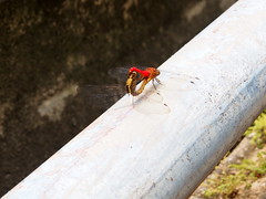 Mating | Dargonfly