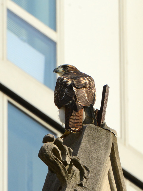 Cathedral Hawk Fledgling - 3318