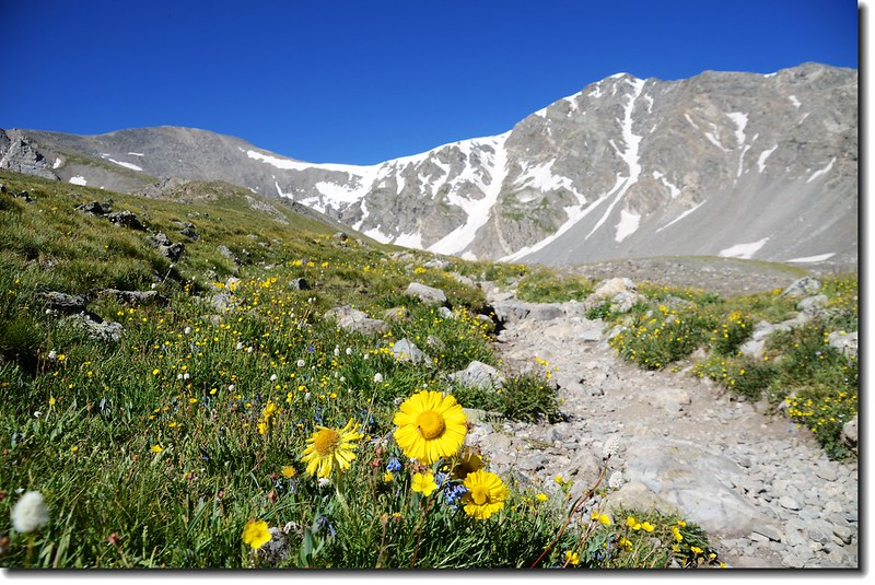 Alpine Sunflower with Grays & Torreys Peak in the distance 2