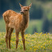 Baby Elk On The Tundra by Robin-Wilson-Off